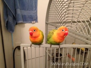 """Chip and Dale"" - Fischer Lovebird Babies"